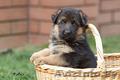 Немецкая овчарка,  щенок,  мальчик,  1 месяц.